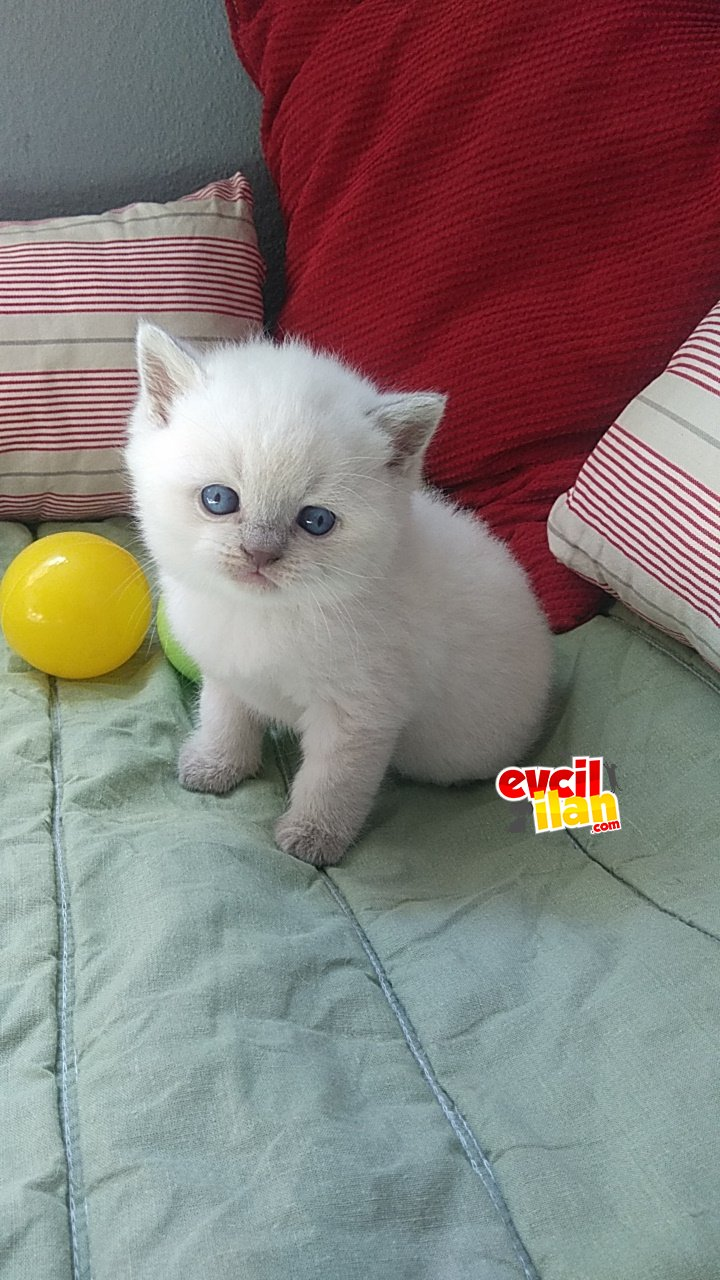 British shorthair blue point ve lilac yavrular